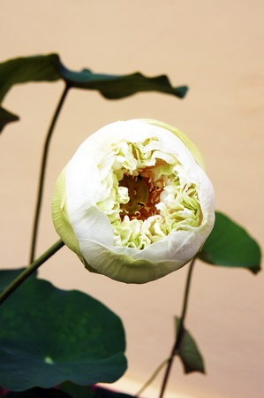 lotus Stock Photo - 14701432