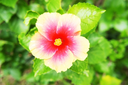 Hibiscus flowers 2 photo