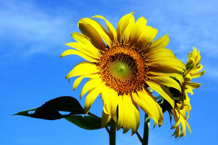 sunflower 2 photo