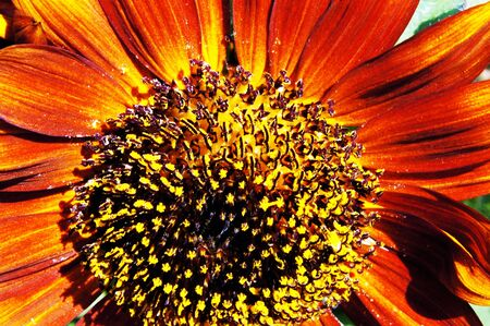 close up sunflower  photo