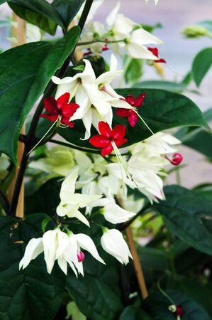 Clerodendrum thomsoniae Stock Photo - 16433519