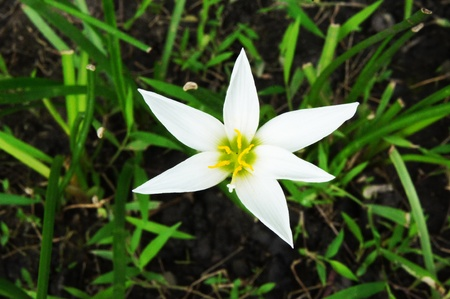 rosea: Zephyranthes rosea Lindl 2