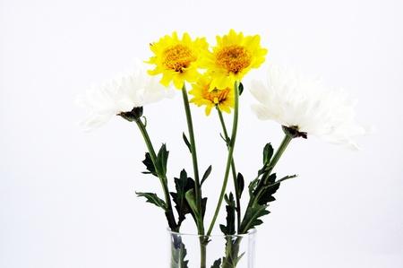 linn: Chrysanthemum indicum Linn Stock Photo