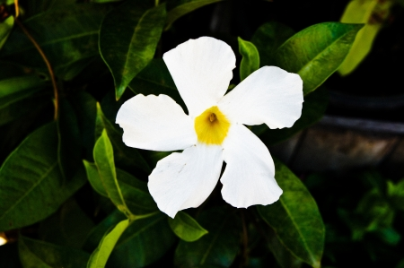 � Mandevilla amoena hort photo