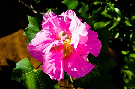 dipladenia: Hibiscus mutabilis
