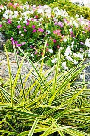 tectorius: Pan-danus tectorius Blume