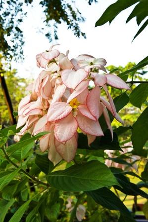 Pink Mussaenda flower