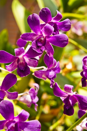 Purple orchid  photo