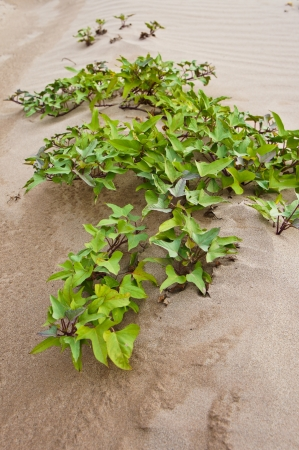 plant on sand at 3000 Bok in thailand photo