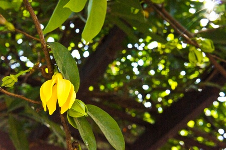 Ylang-ylang Stock Photo