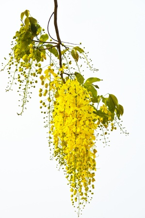 Cassia  fistula Stock Photo - 20696953