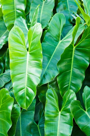 chlorophyll: Philodendron