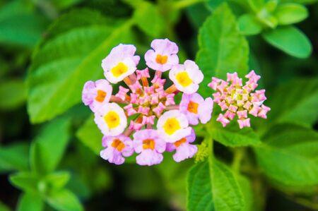 lantana camara: Lantana camara flowers