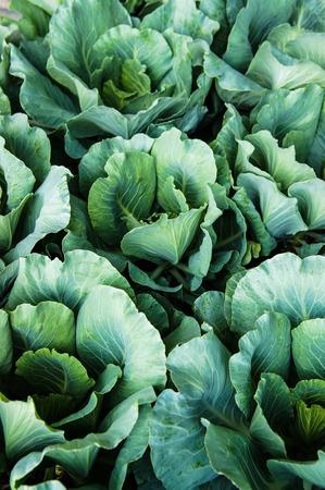Kale plants 2 Stock Photo