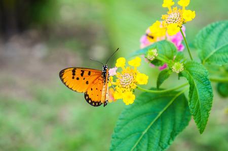 lantana camara: Lantana camara and orange butterfly