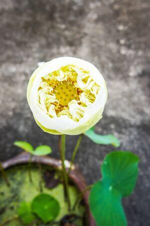 holiness: Lotus flowers Stock Photo