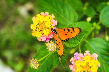 Lantana camara and orange butterfly photo