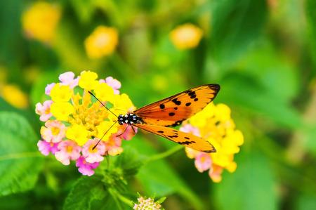 lantana: Lantana camara and orange butterfly