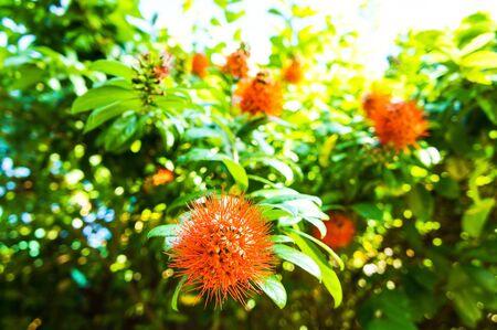 blume: Sapindaceae