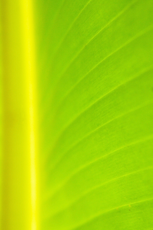 on leave: Banana Leave pattern background