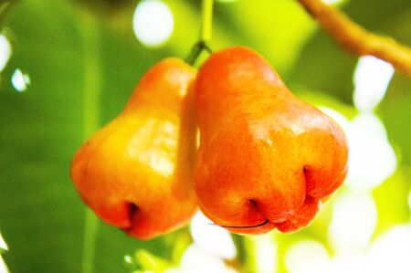 bell shaped: Rose apple Stock Photo