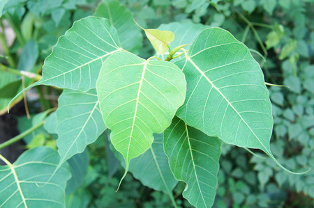 peepal: Ficus religiosa Stock Photo