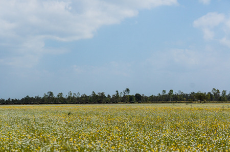The field of Manee Dhevaa flower