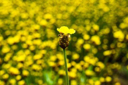 eriocaulaceae: Xyris pauciflora Willd