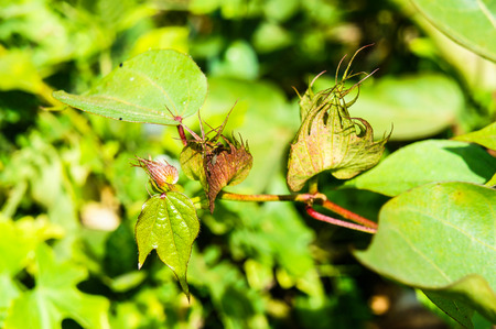drought    resistant plant: Galphimia