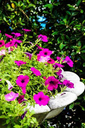 hybrid: Petunia hybrid Stock Photo