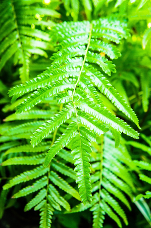 furl: Pteridophyta Stock Photo