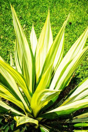 agave: hojas de cactus agave Foto de archivo