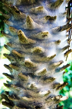 asian palmyra palm: Asian Palmyra palm