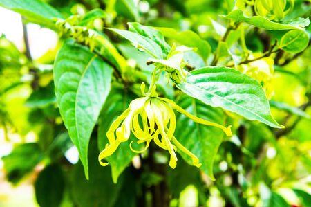 odorous: Cananga fruticosa Stock Photo