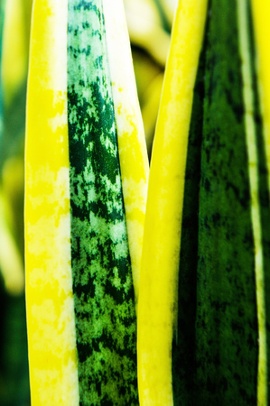 spp: Sansevieria spp Stock Photo
