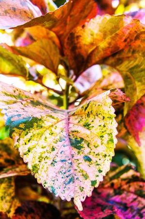 angiosperms: Acalypha wilkesiana