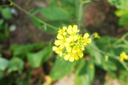 Brassica chinensis Jusl var parachinensis