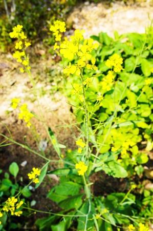 brassica: Brassica rapa