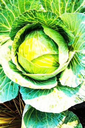 non: Kale plants