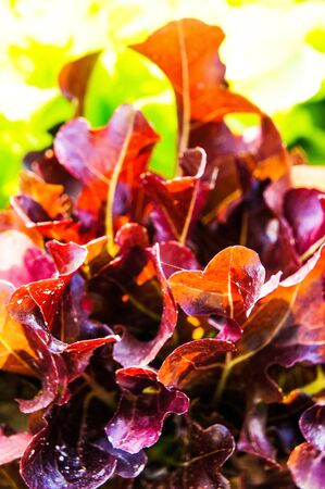 Red and lettuce Stock Photo