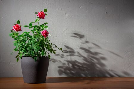 Rose bush in a pot. Pot of roses on a wooden shelf on a background of gray concrete wall. With copy space.