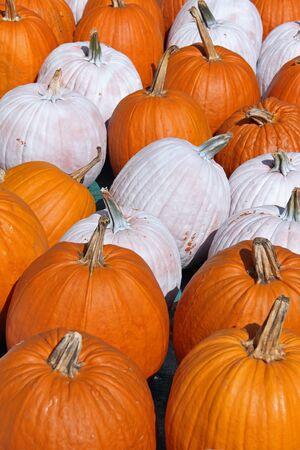 Pumpkin harvest for holiday celebration