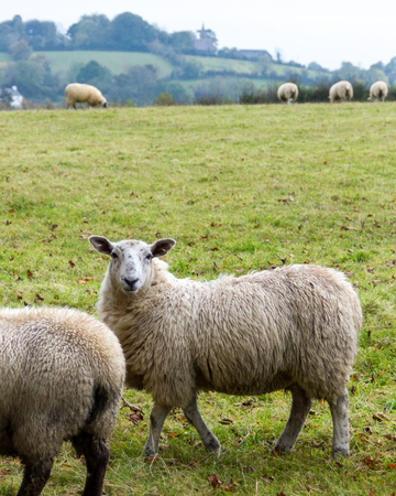 Sheep grazing in rural Northern Ireland farmland.
