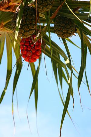 pandanus: Screw Pine