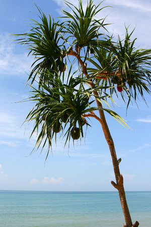 pandanus tree: Screw Pine