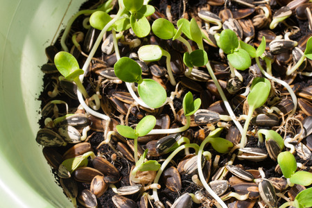 Sunflower plant sprouts germinating in soil photo