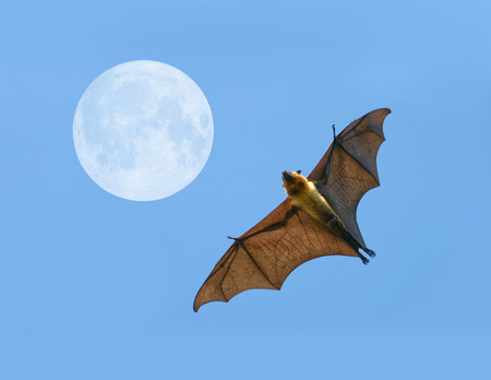 genitals: Flying fox on blue sky