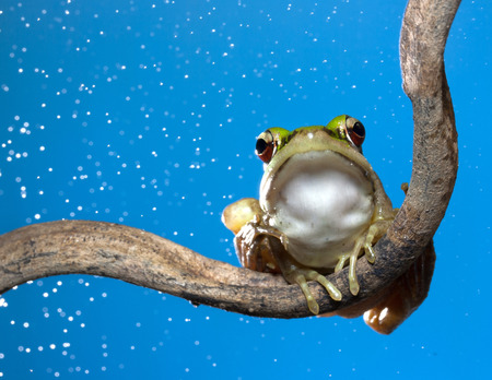 amphibia: a red eyed tree frog