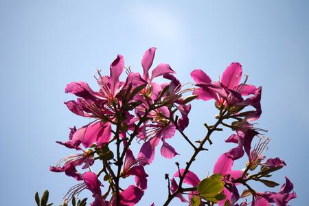 orchid tree: Butterfly Tree, �rbol de orqu�dea, Bauhinia p�rpura con el cielo azul