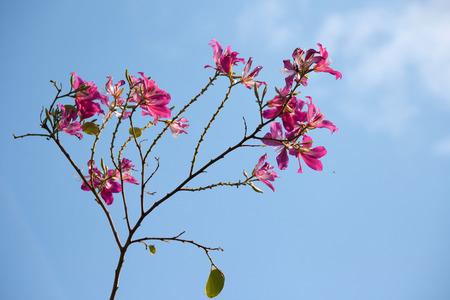 orchid tree: �rbol de orqu�dea con el cielo azul Foto de archivo